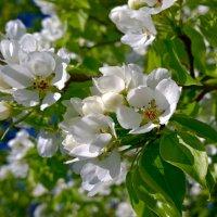 Цветущее дерево :: Наталья (Nata-Cygan) Цыганова
