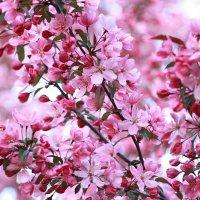 Яблони в цвету :: Валентина Ломакина