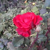 Роза :: Лебедев Виктор