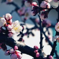 Абрикосы в цвету :: Яна Л