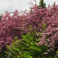 Яблони в цвету. :: Алексей Caveman