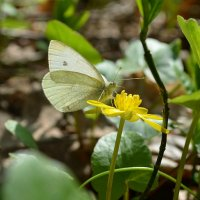 Первая апрельская бабочка. Белянка. :: *MIRA* **