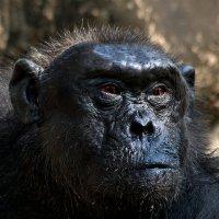 Предводитель обезьян :: Евгений Печенин