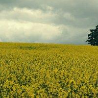 Рапсовое поле перед грозой :: Елена