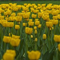 Желтые тюльпаны.. :: Владимир Питерский