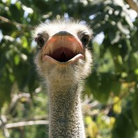 Поющий страус. :: Александр Рейтер