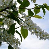 Черемуха душистая с весною расцвела... :: Кристина Девяткина