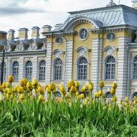 желтые тюльпаны :: Сергей Базылев