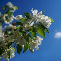 Яблоня в цвету... :: Ярослава Бакуняева