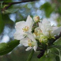Яблоня в мае :: Ольга П