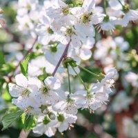 Цветение вишни. :: Татьяна Калинкина