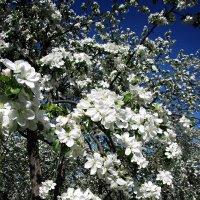 Яблони в цвету!!! :: Ирина Князева
