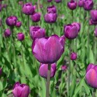 Фиолетовые тюльпаны. :: Ольга