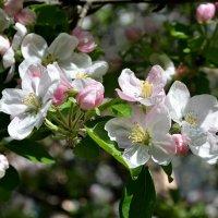 Самая нежная пора года... Яблоня цветет. :: *MIRA* **