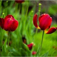 тюльпаны. дождь :: yameug _