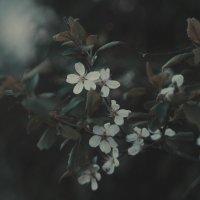 Вишня в цвету :: Ольга Осовская