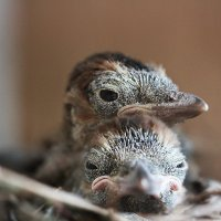 подросли птенчики! :: Tatiana Florinzza