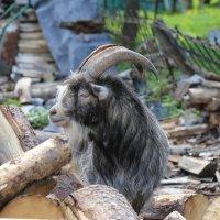 Любознательный козел :: Светлана