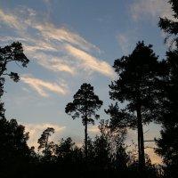 Силуэты сосен на фоне закатного неба :: Светлана