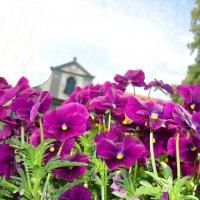 По утрам умываясь росой, Как цвели они! Как красовались! :: Galina Dzubina