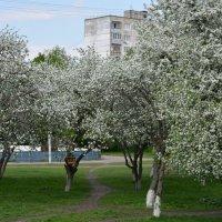 Яблоневый сад :: Николай Денисов