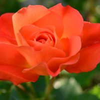 Роза под моим окном. :: Любовь