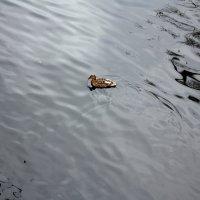 Уточка на осенней воде :: Наталья Золотых-Сибирская