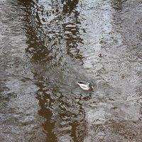 Селезень на воде :: Наталья Золотых-Сибирская