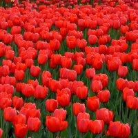 Тюльпаны 2 :: Анатолий