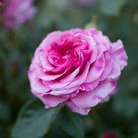 Роза :: Елена Нор