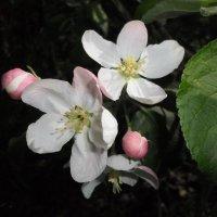 Цветы яблони :: BoxerMak Mak