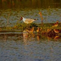 чайка и кулики :: petyxov петухов