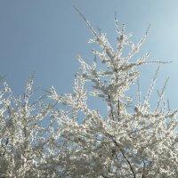 цветение вишни. :: Михаил Жуковский