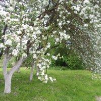 Сады цветут :: BoxerMak Mak