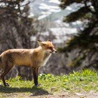 Красивая лисица :: Андрей Черных