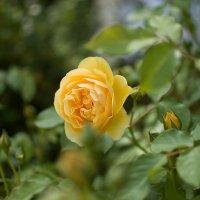 розы :: Елена Нор