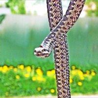 Змея в нашем дворе. Фотограф Саша. :: Фотогруппа Весна.