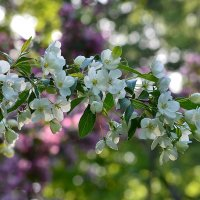 Один раз в год сады цветут... :: Ольга Русанова (olg-rusanowa2010)