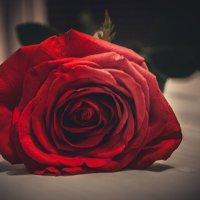 Роза :: Руслан Галимов