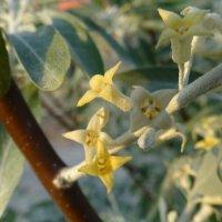 Дикая маслина( джидда, джигердак, жиде, игда, пшат, лох) :: Gudret Aghayev