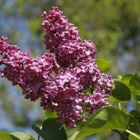 Цветы Сиреневого сада :: esadesign Егерев