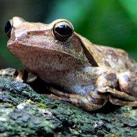 Веслоногая лягушка :: Alexander