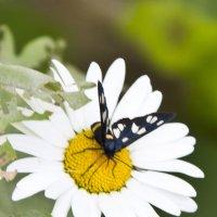Бабочка и ромашка :: Олег
