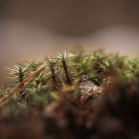 Мохнатый мох :: sorovey Sol