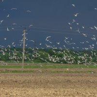 Чайки над полем :: Денис Матвеев