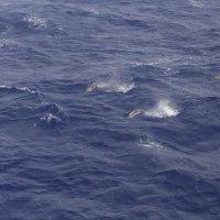 Дельфины с высоты птичьего полета :: Михаил
