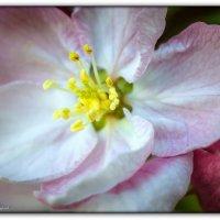 яблоневый цвет :: Sergey Bagach