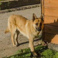 Пёс, просто пёс... :: Константин Сафронов