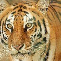 Тигр Шираз :: Swetlana V