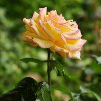 Роза. :: ОЛЕГ ПАНКОВ